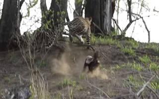 Леопард попытался напасть на собаку в Индии но она убежала