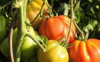 Как правильно пасынковать помидоры, как сформировать куст