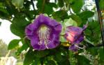 Кобея — выращивание из семян в домашних условиях: когда сажать и каким способом, популярные сорта растения