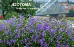 Лаурентия (изотома): выращивание из семян, пересадка, уход, возможная зимовка