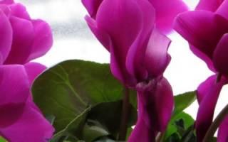 Цикламен — посадка и уход в домашних условиях, фото сортов цветка
