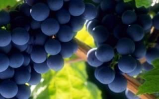 Уход за виноградом: правильная обрезка, подготовка к зиме. подкормка, подвязка