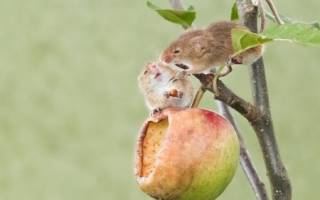 Защита яблони от грызунов