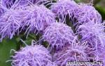 Агератум в саду: описание и рекомендации по выращиванию