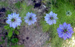 Нигелла: виды с фото, выращивание из семян, уход, сочетание с другими растениями
