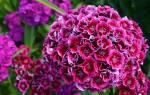 Гвоздика Турецкая — выращивание из семян: когда сажать и каким способом, популярные сорта растения