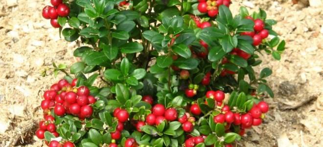 Брусника: посадка, выращивание, размножение, полезные свойства