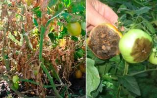 Как бороться с фитофторой на помидорах в теплице