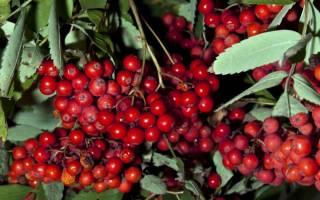 Выращивание рябины: посадка саженцев, правильный уход