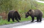 Видео как два гризли дерутся на дороге