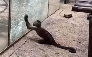 Обезьяна разбила камнем стекло в своей клетке