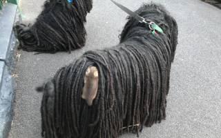 Опоссумы решили прятаться в шерсти собаки