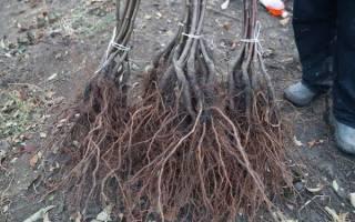 Как посадить абрикос осенью: правила, уход, инструкция + видео