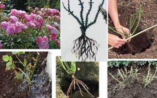 Как сажать розы в открытый грунт летом и можно ли это делать — сроки и правила посадки
