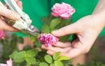 Розы: посадка и уход, выращивание в саду и размножение всеми способами по правилам