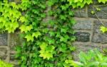 Посадка и уход за девичьим виноградом (пятилисточковый и триостренный виды)
