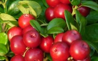 Выращивание клюквы: посадка черенков, правильный уход