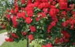 Советы по выращиванию штамбовых роз + видео