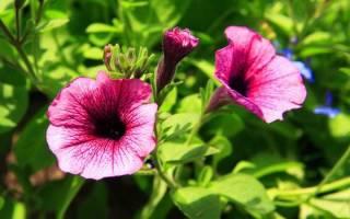 Ипомея: интересные виды, выращивание из семян, уход