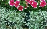 Дихондра: правила выращивания, оптимальный уход и способы размножения