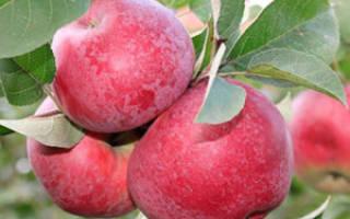 Описание сорта яблони Лобо — особенности, правила посадки и ухода, сбор урожая + фото