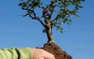 Выращивание саженцев плодовых деревьев, подготовка и срезка побега