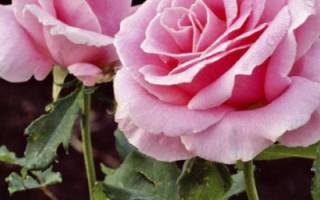 Пересадка роз весной (плетистых и пр) — можно ли и как правильно сделать (видео)