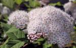Спирея: основные виды с фото, особенности ухода и размножения