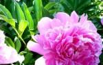 Почему не цветут пионы и что делать, если на кустах одни листья или сохнут бутоны