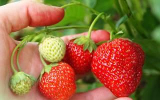 Как правильно ухаживать за земляникой, чтобы получить большой урожай