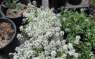 Алиссум: популярные виды, выращивание из семян, размножение черенкованием и делением кустов