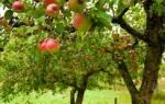 Метод окольцевания плодовых деревьев