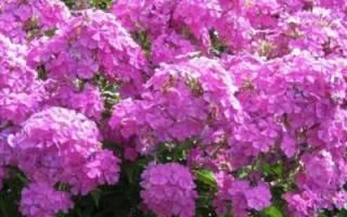 Чем подкормить флоксы — удобрения для подкормок весной и летом