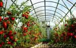 Выращивание помидоров – как вырастить томаты в теплице из поликарбоната