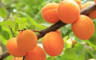 Выращивание абрикосов и персиков: выбор сортов, посадка и правильный уход, как вырастить из косточки