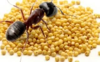 Пшено от муравьев на огороде и дачном участке: помогает ли и как использовать, отзывы