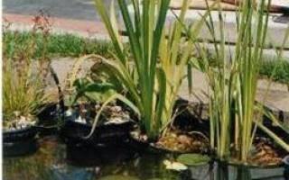 Мой колоритный пруд, поросший болотной растительностью