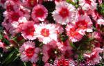Гвоздика (Diаnthus): популярные виды, выращивание, способы размножения