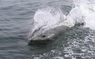 Видео игры дельфина с медузой попало в Сеть