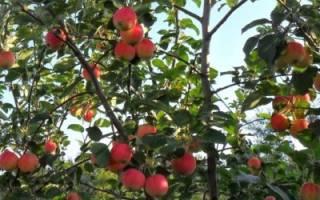 Чем подкормить яблони осенью и как правильно это сделать + видео