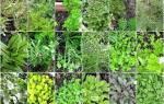Полезные травы для выращивания в саду