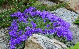 Эдрайантус: фото популярных видов, методика выращивания, ухода и размножения