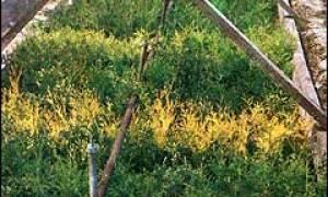 Размножение кустарников черенками, период черенкования, подготовка черенков