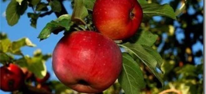 Яблоня Апорт — описание, разновидности + фото