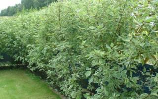 Живая изгородь из дерена белого и других сортов: особенности посадки и ухода