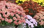 Как вырастить хризантемы в горшках в домашних условиях +Видео