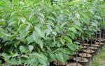 Черешня: оптимальное выращивание, правильный уход, обрезка, полив, прививка