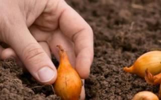 После чего сажать лук под зиму, а после каких растений не стоит