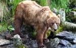 Бурый медведь пробрался на завод за рыбой