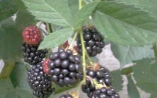 Выращивание садовой ежевики: посадка, формирование куста, правильный уход